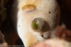 BD-160102-Kalanggaman-2036-Arothron-immaculatus-(Bloch---Schneider.-1801)-[Immaculate-puffer].jpg
